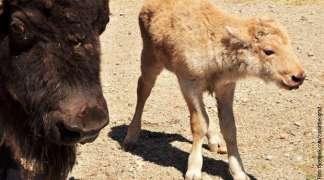 Na Kalemegdanu se rodio bijeli bizon, jedan u 10 miliona!