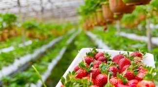 Slovaci traže berače jagoda, nude platu od 700 do 1.300 evra