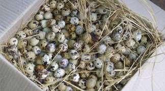 Farma kod Bijeljine proizvela 9 miliona prepeličijih jaja