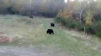 Medvjedi na padinama Igmana i Bjelašnice