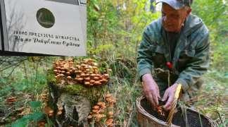 Uprava ''Šuma RS'' višak radnika šalje da beru gljive i jagode