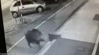 Divlja svinja jurila prolaznike po Novom Sadu
